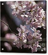 Pretty In Pink Blossom  Acrylic Print