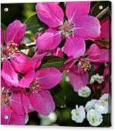 Pretty In Pink I Acrylic Print by Aya Murrells