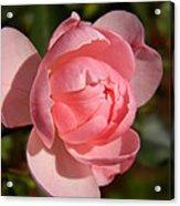 Pretty In Pink Rose Bud Acrylic Print