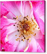 Pretty In Pink Rose Close Up Acrylic Print