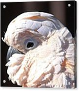 Pretty In Pink Salmon-crested Cockatoo Portrait Acrylic Print