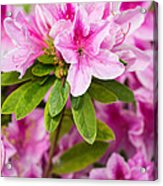 Pretty In Pink - Spring Flowers In Bloom. Acrylic Print