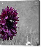 Pretty In Purple Acrylic Print