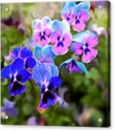 Pretty Pansies 2 Acrylic Print
