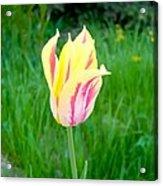 Pretty Pastel Tulip Acrylic Print