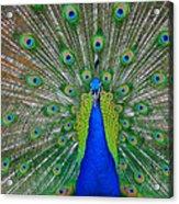 Pretty Peacock Acrylic Print