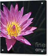 Pretty Pink And Yellow Water Lily Acrylic Print