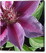 Pretty Pink Clematis Acrylic Print