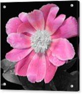 Pretty Pink Petals  Acrylic Print