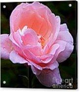 Pretty Pink Rose Acrylic Print