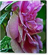 Pretty Pink Rose Acrylic Print
