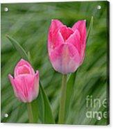 Pretty Pink Tulips Acrylic Print