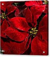 Pretty Poinsettias  Acrylic Print