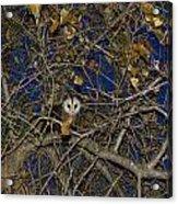 Pretty Pretty Possum Iv Acrylic Print