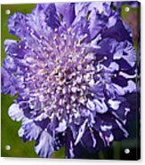 Pretty Purple Flower Acrylic Print