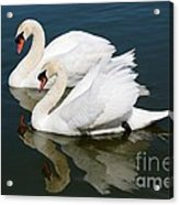 Pretty Swan Pair Acrylic Print