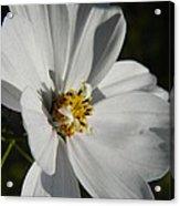 Pretty White Cosmos Acrylic Print