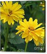 Pretty Yellow False Sunflowers In Bloom Acrylic Print