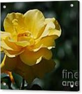 Pretty Yellow Rose Blossom Acrylic Print