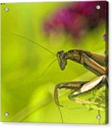 Preying Mantis Acrylic Print