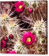 Prickley Cactus Plants Acrylic Print