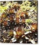 Prickly Lilies Acrylic Print
