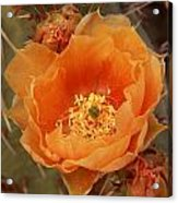 Prickly Pear Cactus Blooming In The Sandia Foothills Acrylic Print