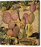Prickly Pear Cactus Dsc08545 Acrylic Print