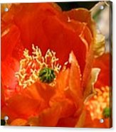 Prickly Pear In Bloom Acrylic Print