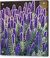 Pride Of Madeira  7162 Acrylic Print