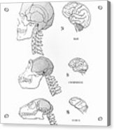Primate Brains Acrylic Print