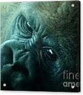 Primate Eyes Acrylic Print