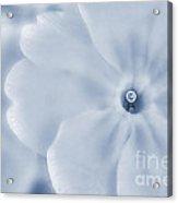 Primrose Cyanotype Acrylic Print