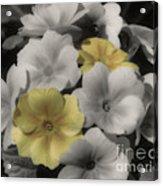 Primrose Flowers Acrylic Print
