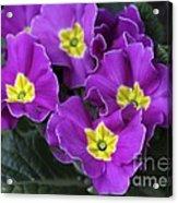 Primrose Purple Acrylic Print