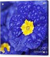 Primrose Raindrops Acrylic Print