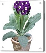 Primula Auricula 'purple Promise' Acrylic Print
