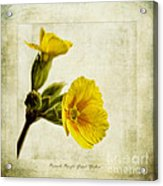 Primula Pacific Giant Yellow Acrylic Print by John Edwards
