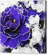 Primulas In The Snow Acrylic Print