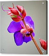 Princess Flower Blooms Acrylic Print