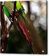 Princess Parrot On A Tree. Acrylic Print