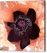 Princess Victoria Louise Poppy Acrylic Print