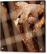 Prisoner Hawk  Acrylic Print
