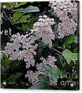 Privet Blossoms 2 Acrylic Print
