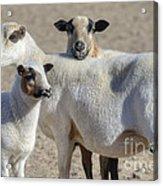 Professional Sheep Acrylic Print