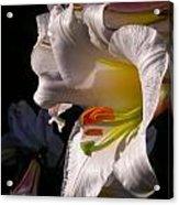 Profile Lilium Regale Acrylic Print
