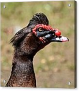 Profile Of A Brown Muscovy Duck Acrylic Print