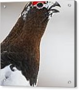 Profile Of A Male Willow Ptarmigan Acrylic Print