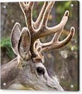 Profile Of Mule Deer Buck With Velvet Antler  Acrylic Print