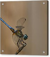 Profile Of The Dragonfly Acrylic Print